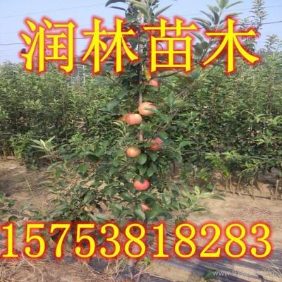 供应优质花牛苹果树苗 花牛苹果树苗价格 花牛苹果树苗基地