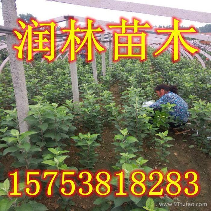批量订购花牛苹果树苗 高产量花牛苹果苗