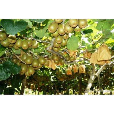 猕猴桃苗木 贵州猕猴桃苗 猕猴桃苗公司 猕猴桃苗厂家