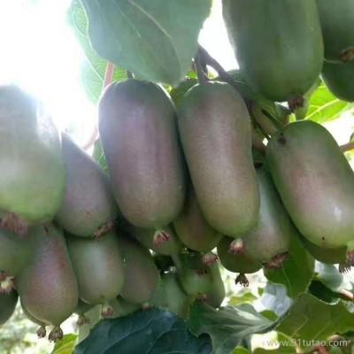 岱宗 软枣猕猴桃树苗二年苗 质优价廉 当年结果猕猴桃苗