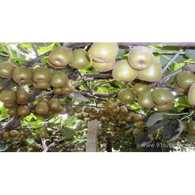 红阳猕猴桃特级种苗 红阳猕猴桃种植苗木  红阳猕猴桃种植苗木|红心猕猴桃管理技术 红心猕猴桃种植技术 红心猕猴桃栽培技术