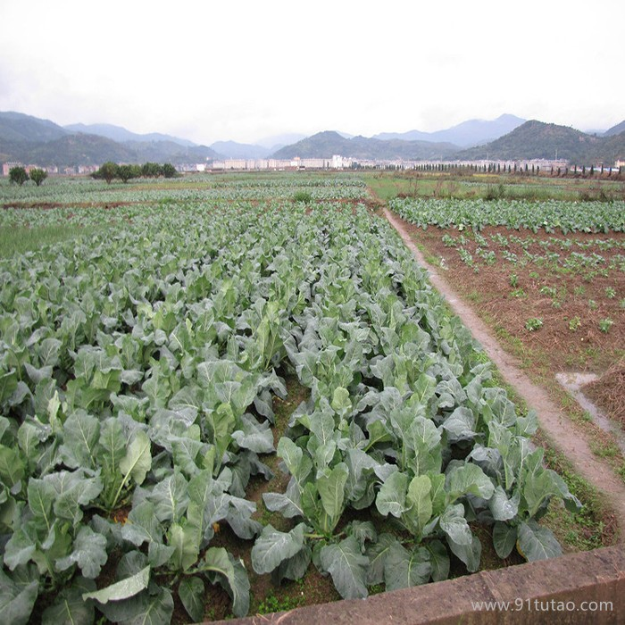 饶阳恒发 批发代购 新鲜蔬菜   菜花 优质菜花 白色菜花