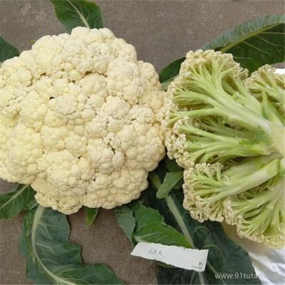 恒发 厂家批发 优质菜花 大白菜花 优质白菜花 菜花