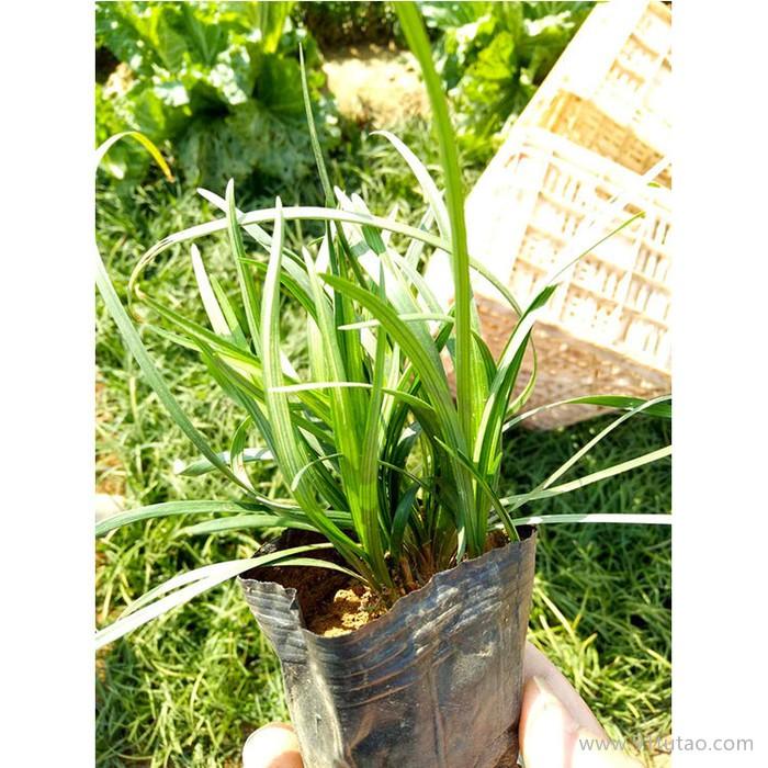 新大洲xdz 麦冬多年生宿根花卉宿根花卉花卉花卉种子