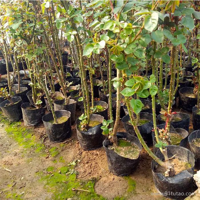 新大洲xdz 品种月季多年生宿根花卉宿根花卉花卉花卉种子