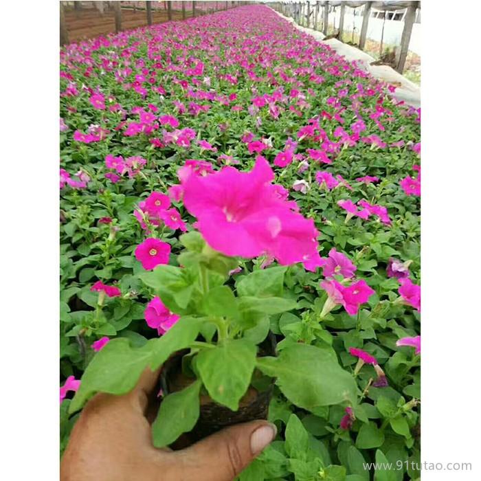 新大洲xdz 矮牵牛多年生宿根花卉宿根花卉花卉花卉种子