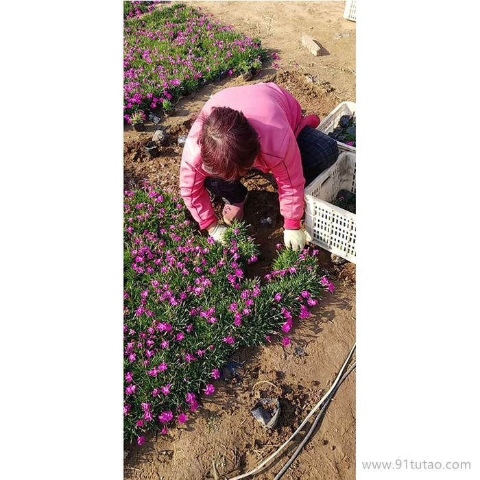 新大洲xdz 欧石竹多年生宿根花卉宿根花卉花卉花卉种子