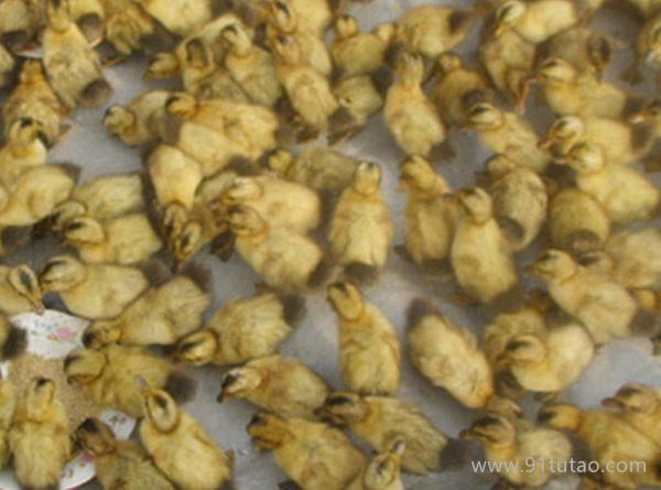 供应优质麻鸭苗广州 鸭苗 禽苗,家禽种苗,珍禽种苗,量大价优