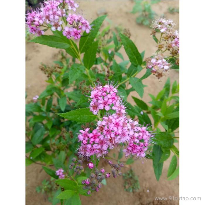 新大洲xdz 日本绣线菊多年生宿根花卉宿根花卉花卉花卉种子