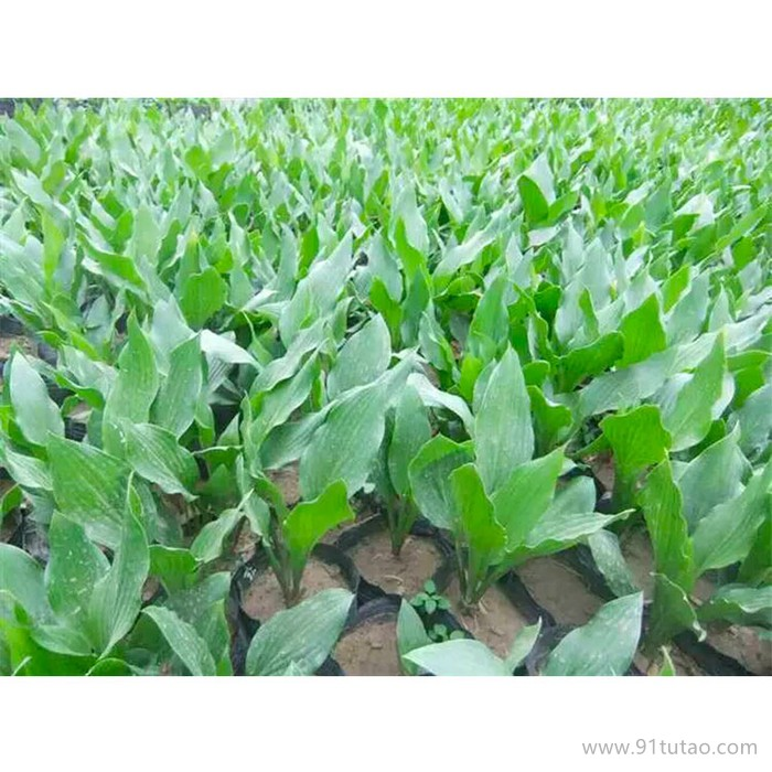 新大洲xdz 紫花玉簪多年生宿根花卉宿根花卉花卉花卉种子
