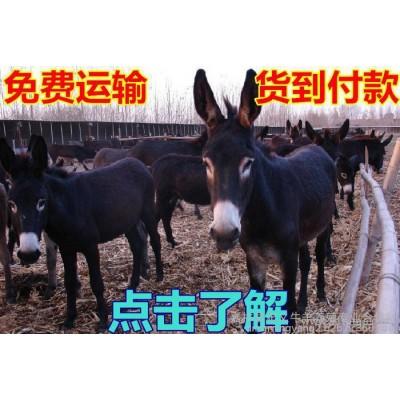 肉驴养殖场出售 改良肉驴 肉驴苗 德州驴 关中驴