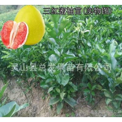 果树苗 嫁接三红蜜柚子树苗 广西 福建红心柚苗 红肉红皮红柚