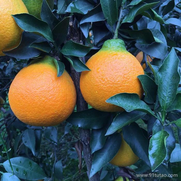 果香聚 丑柑火不知耙耙柑橙柑橘预售