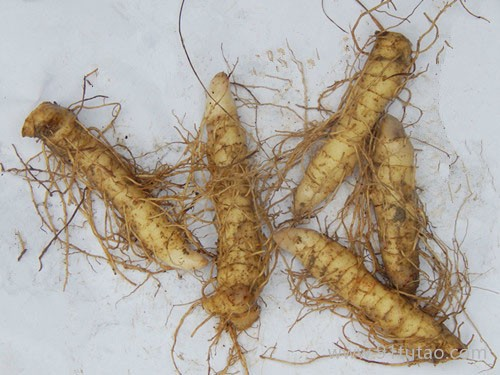 玉竹种苗产地 玉竹种苗批发  供应优质高产玉竹种苗