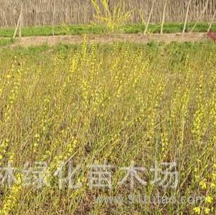 超平绿化芳香植物-栀子花,栀子花苗,栀子花直销基地