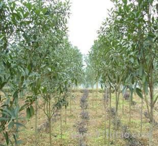 桂花小苗 嫁接桂花苗包品种包成活现挖现卖桂花树苗低价促销桂花