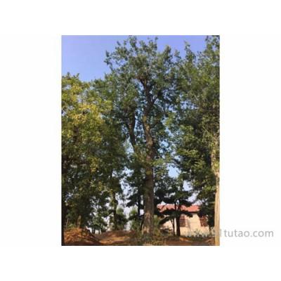 直销 京山仁和  各种朴树骨架 原生朴树 全冠朴树 移植朴树
