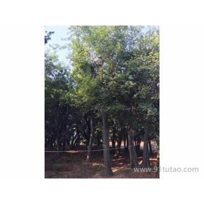 京山仁和 各种朴树骨架 原生朴树 全冠朴树 移植朴树 品种齐全