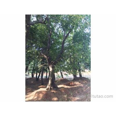 京山仁和 直销 各种朴树骨架 原生朴树 全冠朴树 移植朴树 品种齐全