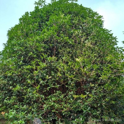 批发12公分桂花小苗 桂花小苗价格 桂花小苗种植基地 桂花树