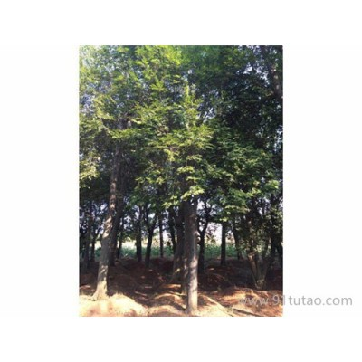 京山仁和 各种朴树骨架 原生朴树 全冠朴树 移植朴树