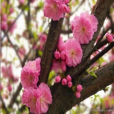 榆叶梅树苗基地直供3-4-5-6-7-8-9-10-12公分 榆叶梅价格质量高易成活价格低
