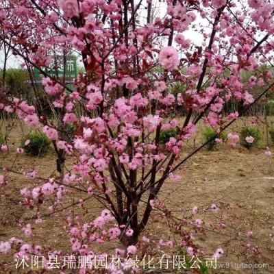 榆叶梅 榆叶梅价格 榆叶梅基地 榆叶梅批发 榆叶梅种植基地 直径8公分 冠幅1.8米