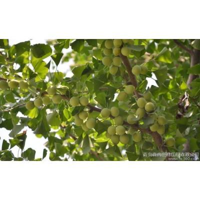 专业植提厂白果提取物 银杏果提取物