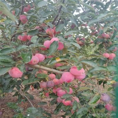 良友-瑞阳苹果苗苹果苗大量出售  大量出售 苹果苗现货