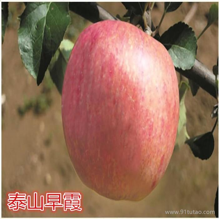 皇家嘎啦苹果苗 皇家嘎啦苹果苗价格 优质皇家嘎啦苹果苗 欢迎选购