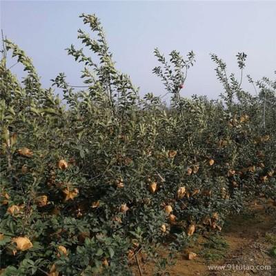 郁林农业出售苹果苗,嘎啦苹果苗多钱一棵,嘎啦苹果苗批发价格