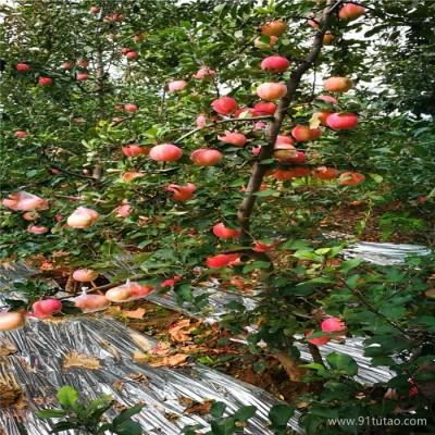 嘎啦苹果苗,m9t337自根矮化砧苹果苗保湿发货