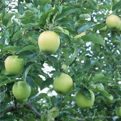 黑色嘎啦苹果苗价格 高原黑苹果苗价格 黑色嘎啦苹果苗育苗基地