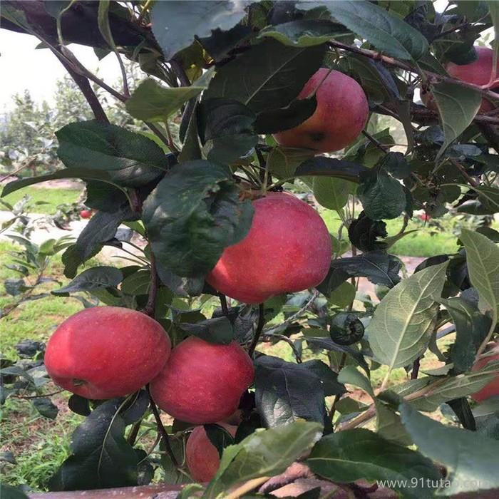 良友-五角星苹果苹果苗大量出售  大量出售 苹果苗免费指导种植