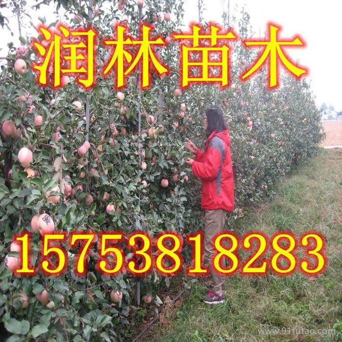 供应嘎啦苹果苗 嘎啦苹果树苗 嘎啦苹果树小苗
