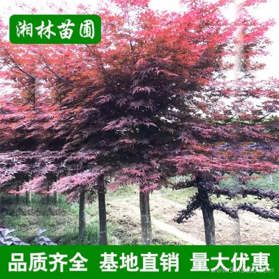 苗圃基地直供红枫树苗 园林绿化苗木 红枫树小苗大苗批发