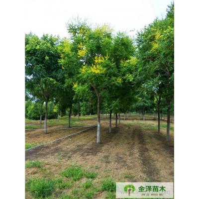 栾树价钱,栾树,保定栾树,河北精品苗木