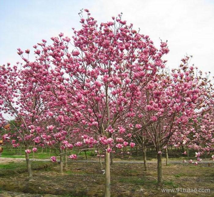 玉兰树 紫玉兰 红玉兰园林绿化苗木紫玉兰树红玉兰树低价