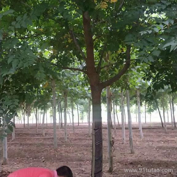 老班长苗木 北京栾树 15公分北京栾树多年帽