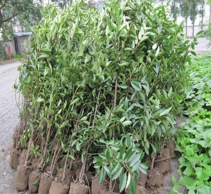 园林绿化苗木 法国冬青 珊瑚树 法国冬青小苗 低价直销法青