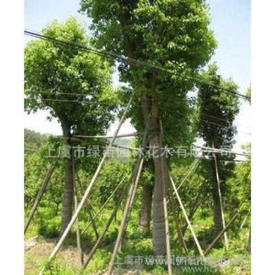 绿苗园林  绿化苗木价格  厂家出售 无患子 花木 绿化苗木