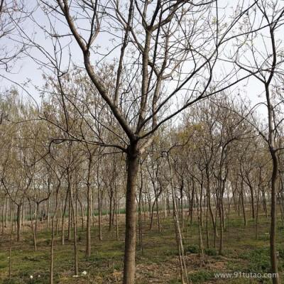 老班长苗木 15公分北京栾树多年帽