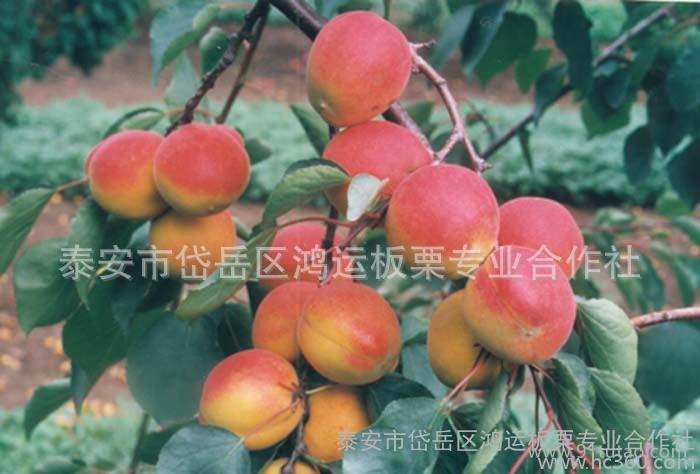 优质油桃,桃子早熟油桃,桃子
