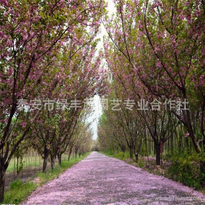 自主直营销售樱花等绿化苗木,先看货后挑货 樱花价格