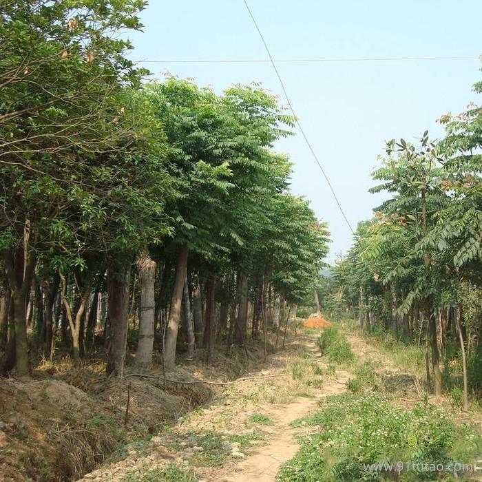 栾树 3-12cm 规格齐全 栾树价格 量大优惠 栾树基地  栾树批发 栾树种植基地