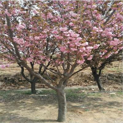 樱花树  优质樱花树批发销售基地 樱花树价格 樱花树批发