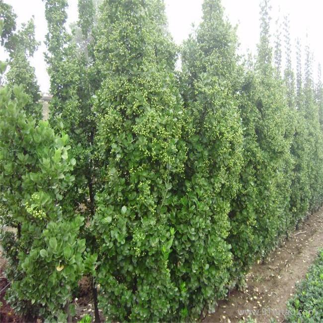 园艺场批发各种绿化苗木北海道黄杨 苗圃直销易成活北海道黄杨
