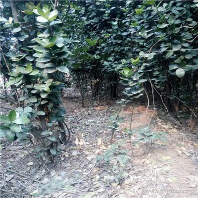 春润农业科技 6cm北海道黄杨 销售1-3米北海道黄杨 北海道黄杨