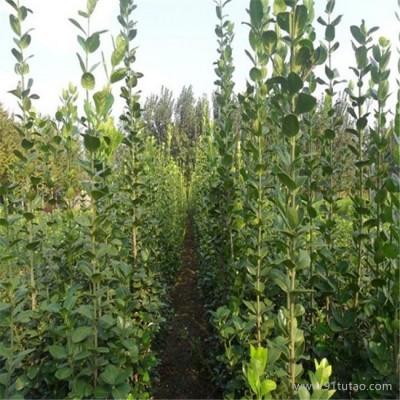 新风园艺  北海道黄杨  专业绿化苗培育基地  欢迎实地看苗