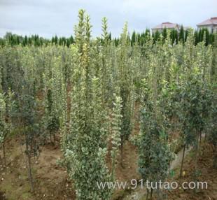 金边黄杨 雀舌黄杨 北海道黄杨 苗圃直销绿化苗木 量大优惠